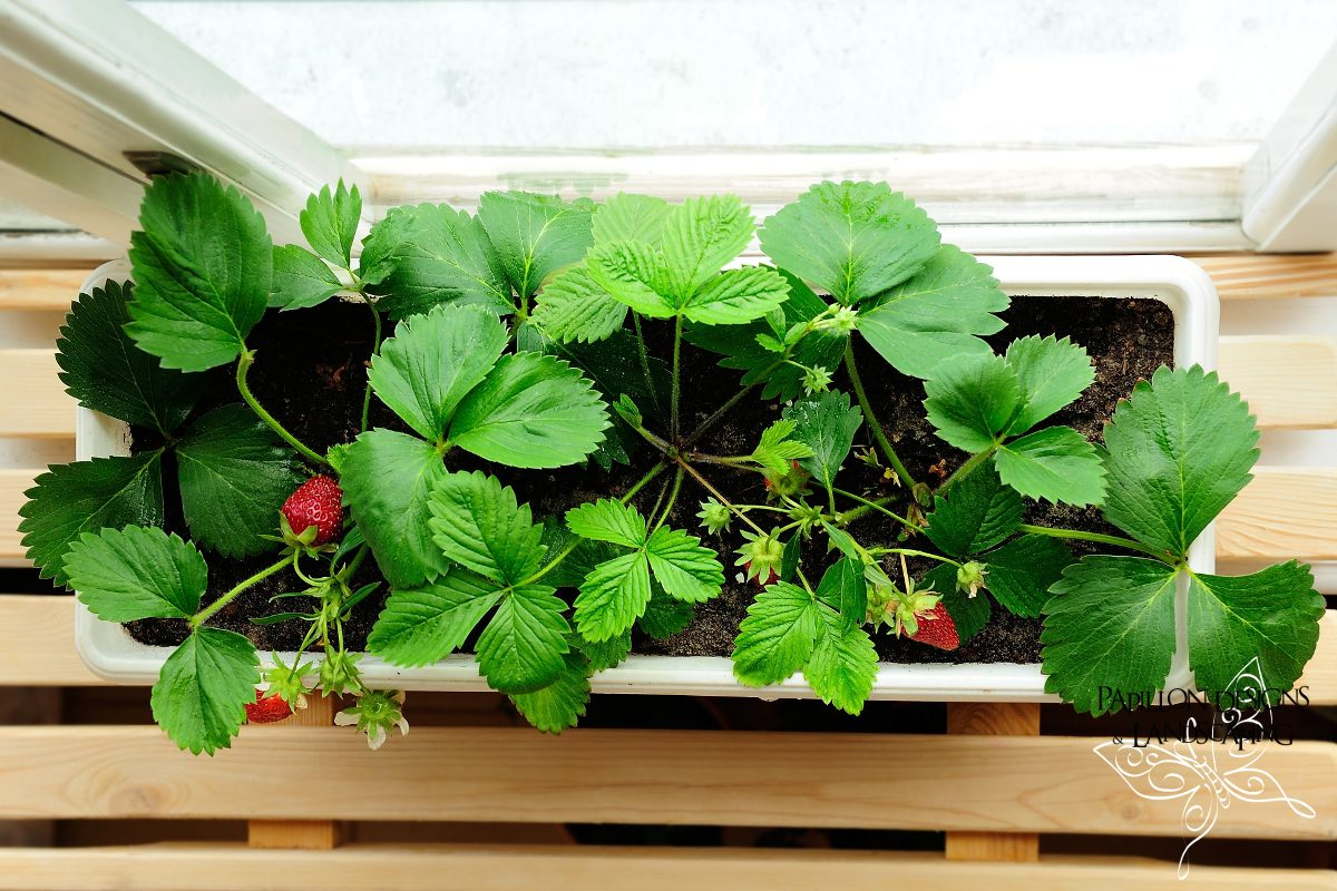 Get kids involved in gardening with strawberry window pots